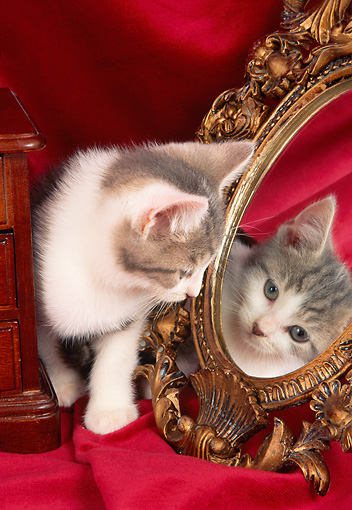 CAT 03 AL0084 01 © Kimball Stock Gray And White Kitten Looking At Mirror