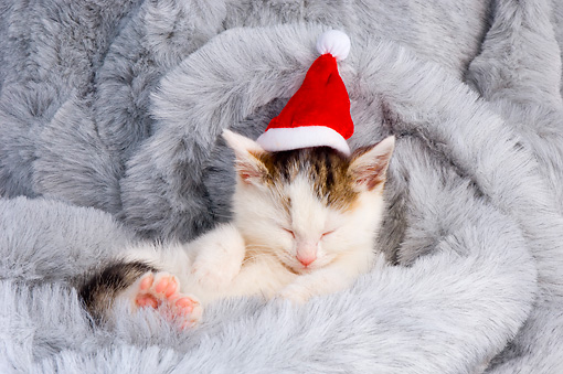 CAT 03 AL0107 01 © Kimball Stock Brown And White Tabby Kitten Wearing Santa Hat Sleeping On Fur