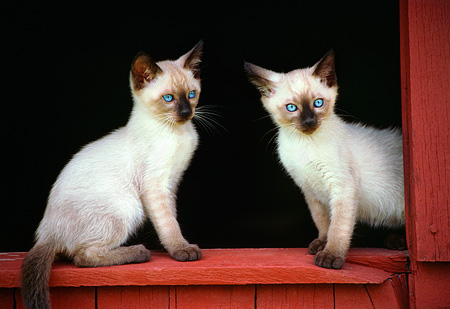 CAT 03 GR0018 02 © Kimball Stock Two Siamese Kittens Sitting At Barn Window