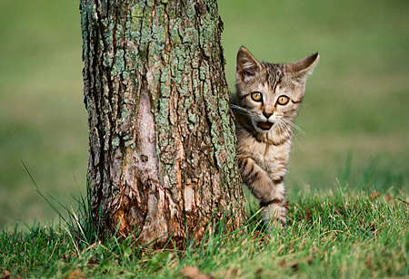 CAT 03 GR0038 01 © Kimball Stock Tabby Kitten Peeking Behind Tree Trunk On Grass