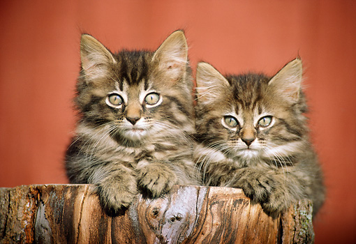 CAT 03 GR0040 01 © Kimball Stock Close-Up Of Two Tabby Gray Kittens Laying On Tree Stump