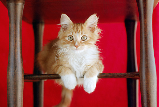 CAT 03 GR0044 03 © Kimball Stock Orange And White Kitten Perching Under Chair