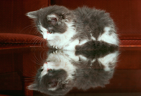 CAT 03 GR0047 01 © Kimball Stock Gray And White Kitten On Glass Table With Reflection