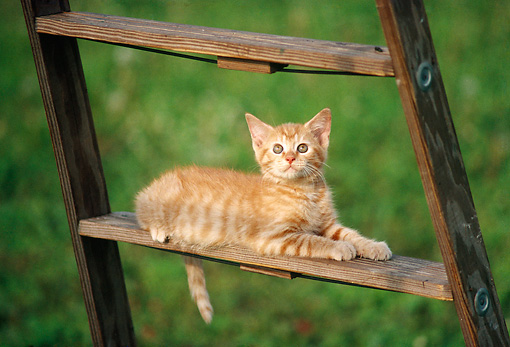 CAT 03 GR0069 01 © Kimball Stock Orange And White Kitten Laying On Wooden Ladder On Grass
