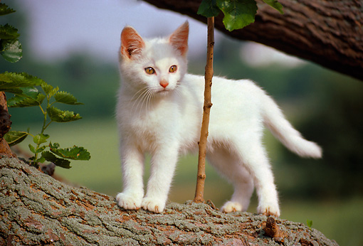 CAT 03 GR0116 01 © Kimball Stock White Kitten Standing On Branch In Tree