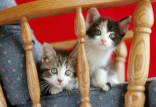CAT 03 GR0122 01 © Kimball Stock Two Kittens Peeking Out Of Wooden Chair
