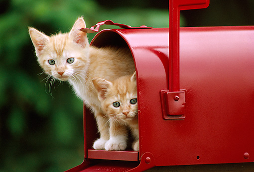 CAT 03 GR0128 01 © Kimball Stock Two Orange Tabby Kittens Peeking Out Of Red Mailbox