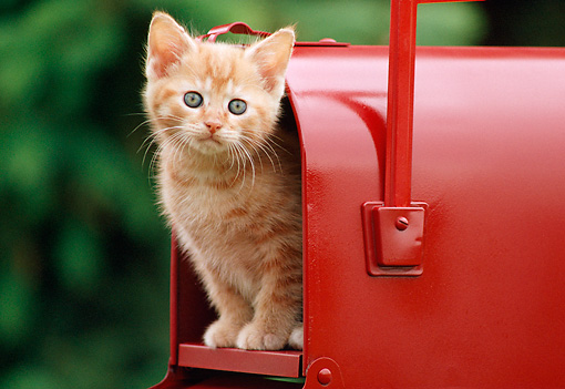 CAT 03 GR0129 01 © Kimball Stock Orange Tabby Kitten Peeking Out Of Red Mailbox