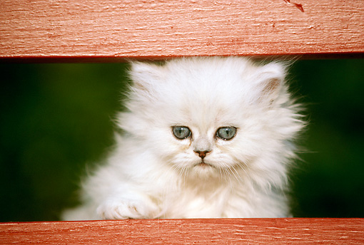 CAT 03 GR0185 01 © Kimball Stock Shaded Silver Kitten At Fence