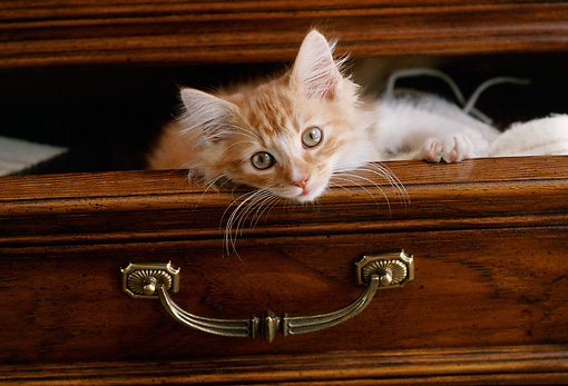 CAT 03 GR0222 01 © Kimball Stock Red Tabby And White Sitting In Dresser Drawer