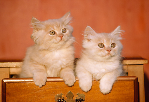 CAT 03 GR0339 01 © Kimball Stock Two Orange Persian Kittens In Wooden Drawer