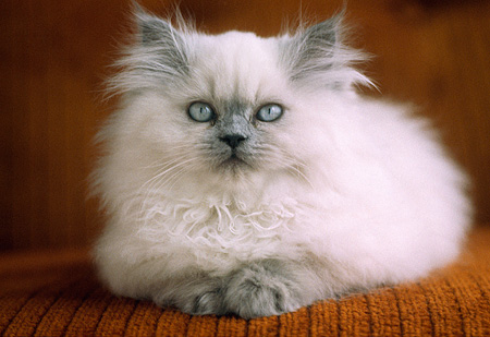CAT 03 GR0353 14 © Kimball Stock Blue Point Himalayan Kitten Laying On Armchair