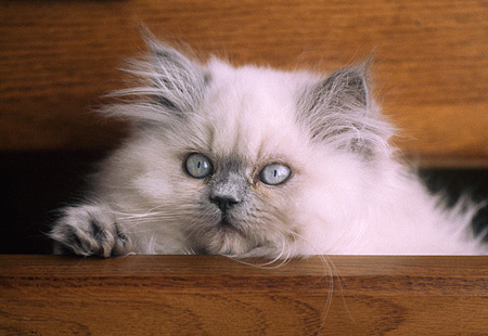 CAT 03 GR0365 03 © Kimball Stock Head Shot Of Blue Point Himalayan Kitten In Wooden Dresser Drawer