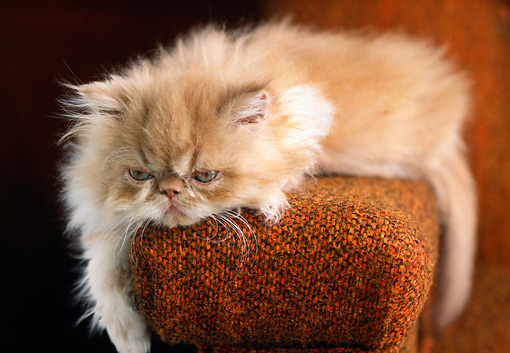 CAT 03 GR0366 02 © Kimball Stock Red Persian Kitten Laying On Armrest Of Chair