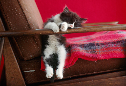CAT 03 GR0517 01 © Kimball Stock Humorous Shot Of Black And White Kitten Sleeping On Armchair