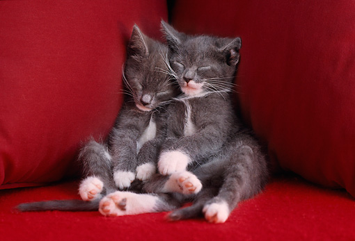 CAT 03 GR0552 02 © Kimball Stock Two Gray And White Kittens Sleeping On Red Chair