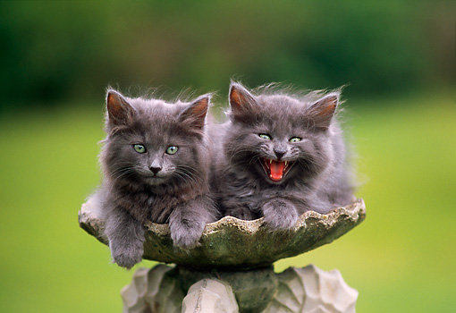 CAT 03 GR0569 01 © Kimball Stock Portrait Of Two Gray Kittens In Birdbath