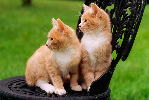 CAT 03 GR0652 03 © Kimball Stock Two Orange And White Kittens Sitting On Outdoor Chair