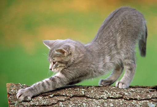 CAT 03 GR0679 01 © Kimball Stock Gray And White Kitten Stretching Out On Log