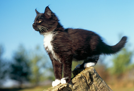 CAT 03 GR0691 02 © Kimball Stock Black And White Kitten Standing On Top Of Tree Stump