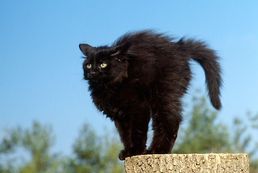 CAT 03 GR0706 01 © Kimball Stock Black Kitten Standing With Arched Back On Tree Stump