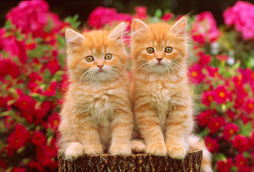 CAT 03 GR0734 01 © Kimball Stock Orange And White Tabby Kittens Sitting On Tree Stump By Flowers