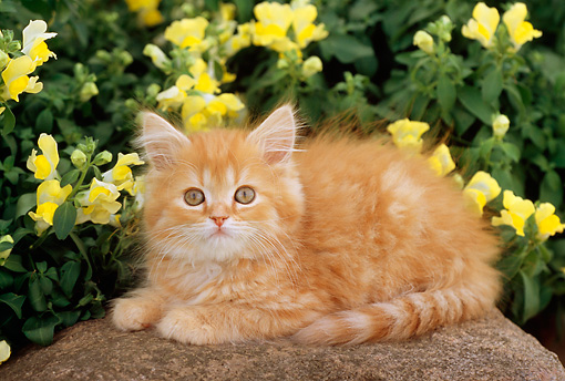 CAT 03 GR0748 01 © Kimball Stock Head Shot Of Orange And White Kitten On Rock
