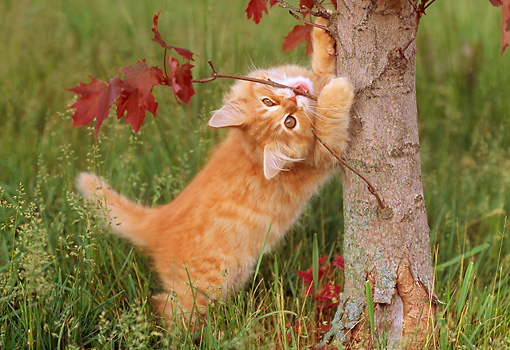 CAT 03 GR0776 01 © Kimball Stock Orange Tabby Kitten Biting Limb On Tree