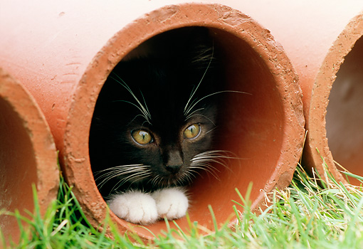 CAT 03 GR0812 01 © Kimball Stock Portrait Of Black And White Tabby Kitten Crouching In Clay Pipe On Grass