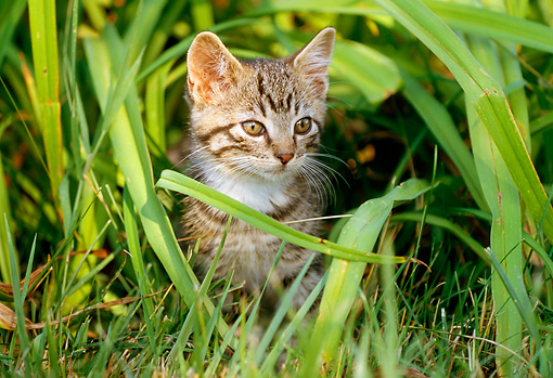 CAT 03 GR0828 01 © Kimball Stock Portrait Of Tabby Kitten Playing In Grass