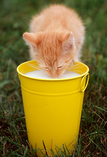CAT 03 GR0831 01 © Kimball Stock Portrait Of Red Tabby Kitten Drinking Milk From Yellow Pail