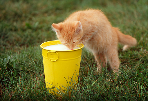 CAT 03 GR0832 01 © Kimball Stock Portrait Of Red Tabby Kitten Drinking Milk From Yellow Pail