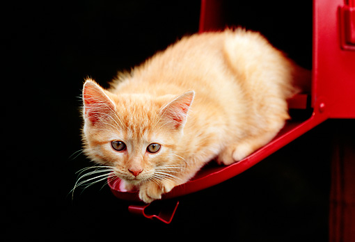 CAT 03 GR0833 01 © Kimball Stock Portrait Of Red Tabby Kitten Sitting On Open Door Of Red Mailbox