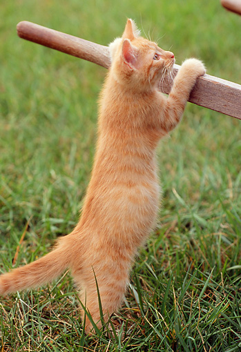 CAT 03 GR0838 01 © Kimball Stock Portrait Of Red Tabby Kitten Playing By Wheelbarrow On Grass