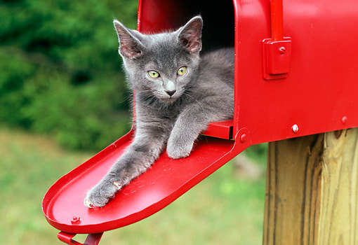 CAT 03 GR0839 01 © Kimball Stock Portrait Of Gray Kitten Laying In Red Mailbox