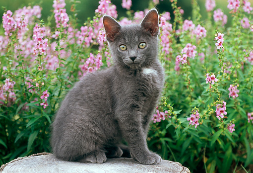 CAT 03 GR0841 01 © Kimball Stock Portrait Of Gray Kitten Sitting On Tree Stump By Flowers