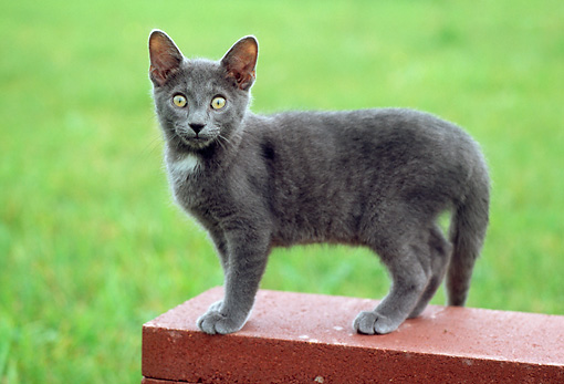 CAT 03 GR0843 01 © Kimball Stock Portrait Of Gray Kitten Standing On Bench On Grass