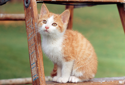 CAT 03 GR0846 01 © Kimball Stock Red And White Tabby Kitten Sitting On Ladder On Grass
