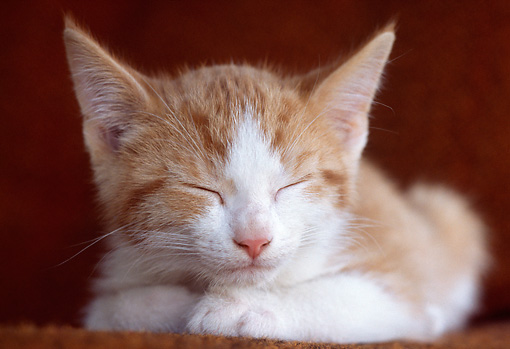 CAT 03 GR0851 01 © Kimball Stock Red And White Tabby Kitten Sleeping On Chair