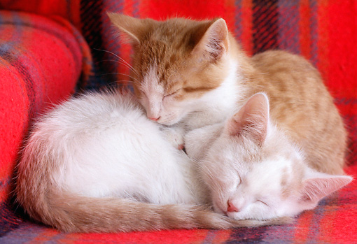 CAT 03 GR0852 01 © Kimball Stock Red And White Tabby Kittens Sleeping On Chair