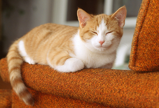 CAT 03 GR0853 01 © Kimball Stock Red And White Tabby Kitten Sleeping On Arm Of Chair