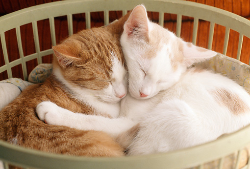 CAT 03 GR0854 01 © Kimball Stock Red And White Tabby Kittens Sleeping In Clothes Basket