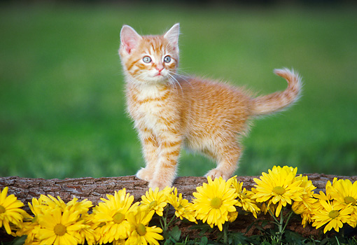 CAT 03 GR0862 01 © Kimball Stock Orange Tabby Kitten Standing On Log By Yellow Flowers