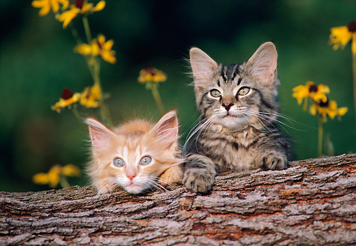 CAT 03 GR0864 01 © Kimball Stock Two Tabby Kittens Peeking Over Log