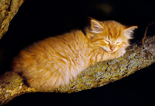CAT 03 GR0865 01 © Kimball Stock Orange Tabby Kitten Sleeping On Tree Branch
