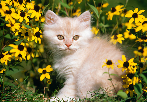 CAT 03 GR0866 01 © Kimball Stock Orange Tabby Kitten Sitting In Grass By Yellow Flowers