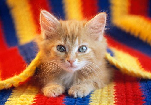 Tabby Kitten Animal Stock Photos Kimballstock