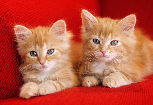 CAT 03 GR0869 01 © Kimball Stock Close-Up Of Two Orange Tabby Kittens Laying On Red Couch