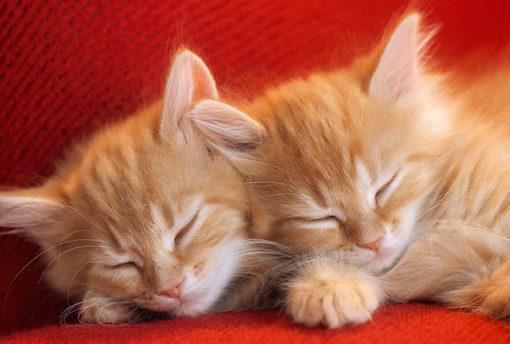 CAT 03 GR0870 01 © Kimball Stock Close-Up Of Two Orange Tabby Kittens Sleeping On Red Couch