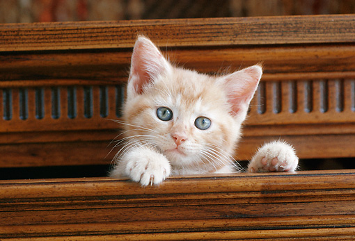 CAT 03 GR0871 01 © Kimball Stock Orange Tabby Kitten Peeking Out Of Wooden Drawer